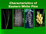 characteristics of eastern white pine