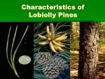 characteristics of loblolly pines