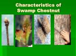 characteristics of swamp chestnut