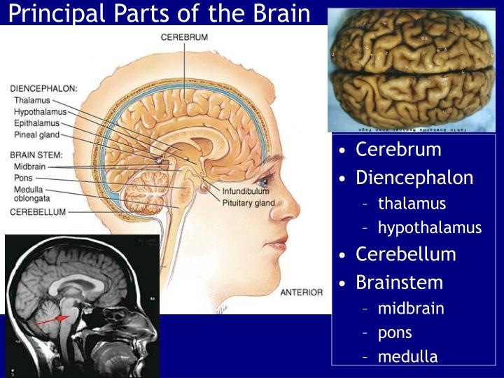 principal parts of the brain n.