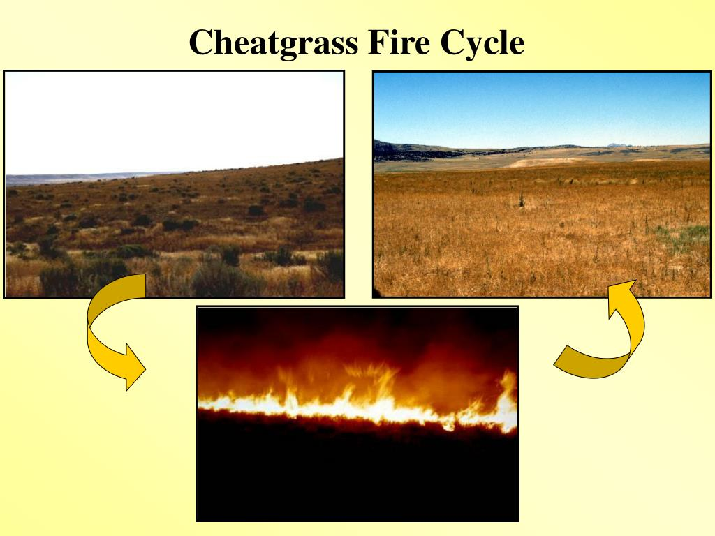 Cheatgrass Fire Cycle