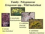 family polygonaceae eriogonum spp wild buckwheat