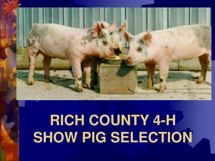 rich county 4 h show pig selection n.