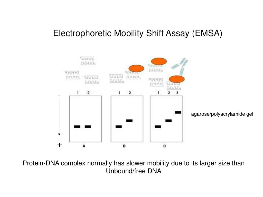 Electrophoretic Mobility Shift Assay (EMSA)