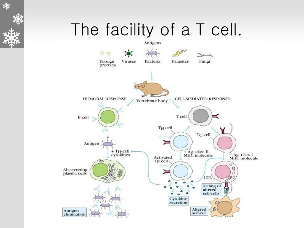 The facility of a T cell.