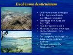 eucheuma denticulatum