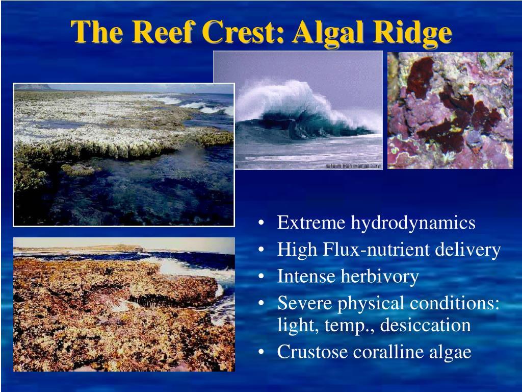 The Reef Crest: Algal Ridge