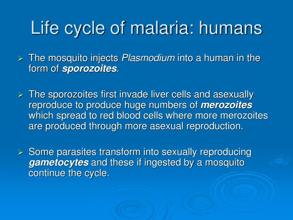 Life cycle of malaria: humans