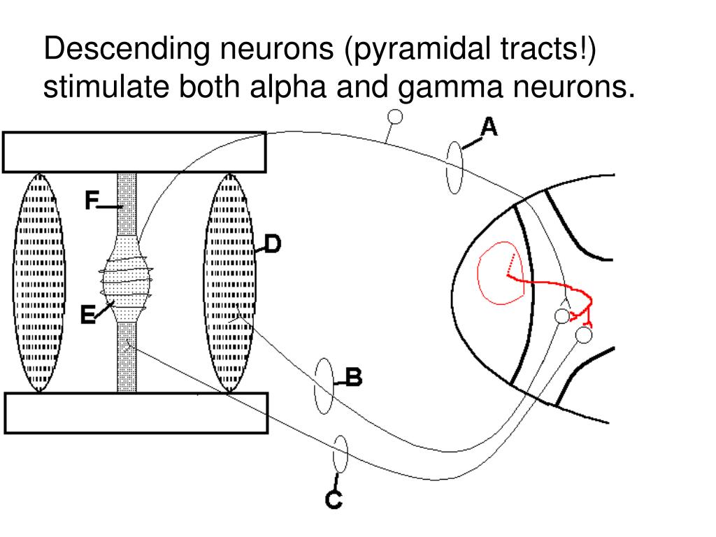 Descending neurons (pyramidal tracts!) stimulate both alpha and gamma neurons.