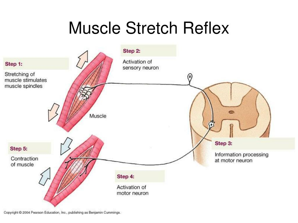 Muscle Stretch Reflex