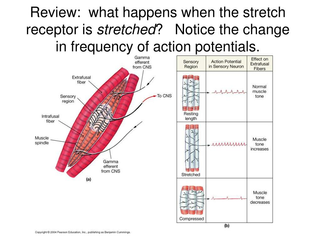 Review:  what happens when the stretch receptor is
