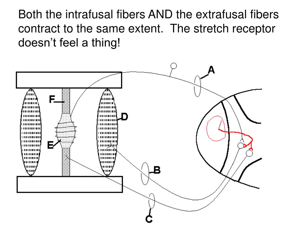 Both the intrafusal fibers AND the extrafusal fibers contract to the same extent.  The stretch receptor doesn't feel a thing!