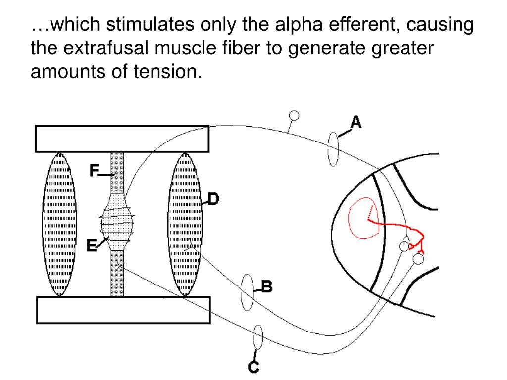 …which stimulates only the alpha efferent, causing the extrafusal muscle fiber to generate greater amounts of tension.