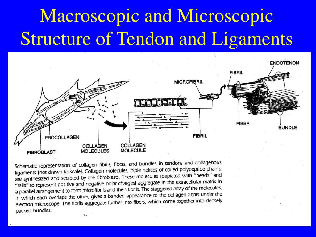 Macroscopic and Microscopic Structure of Tendon and Ligaments