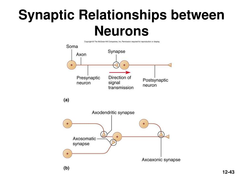 Synaptic Relationships between Neurons