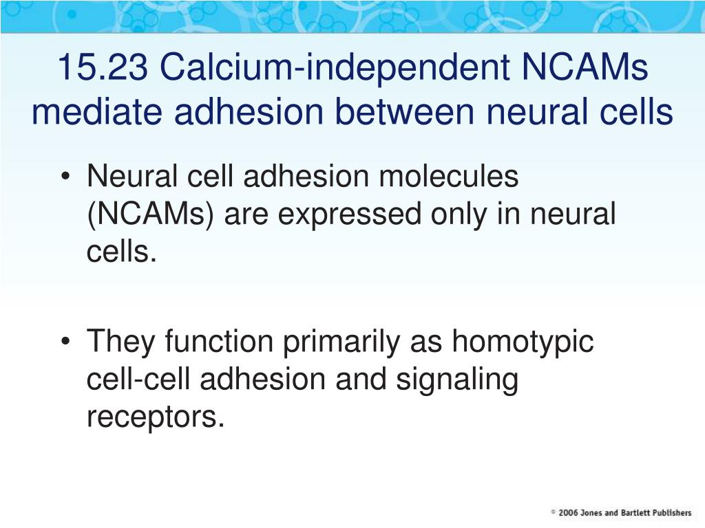 15.23 Calcium-independent NCAMs mediate adhesion between neural cells