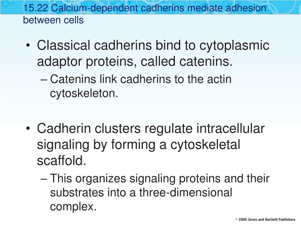 15.22 Calcium-dependent cadherins mediate adhesion between cells