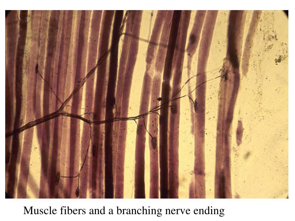 Muscle fibers and a branching nerve ending