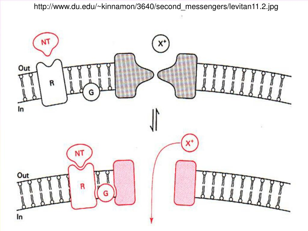 http://www.du.edu/~kinnamon/3640/second_messengers/levitan11.2.jpg
