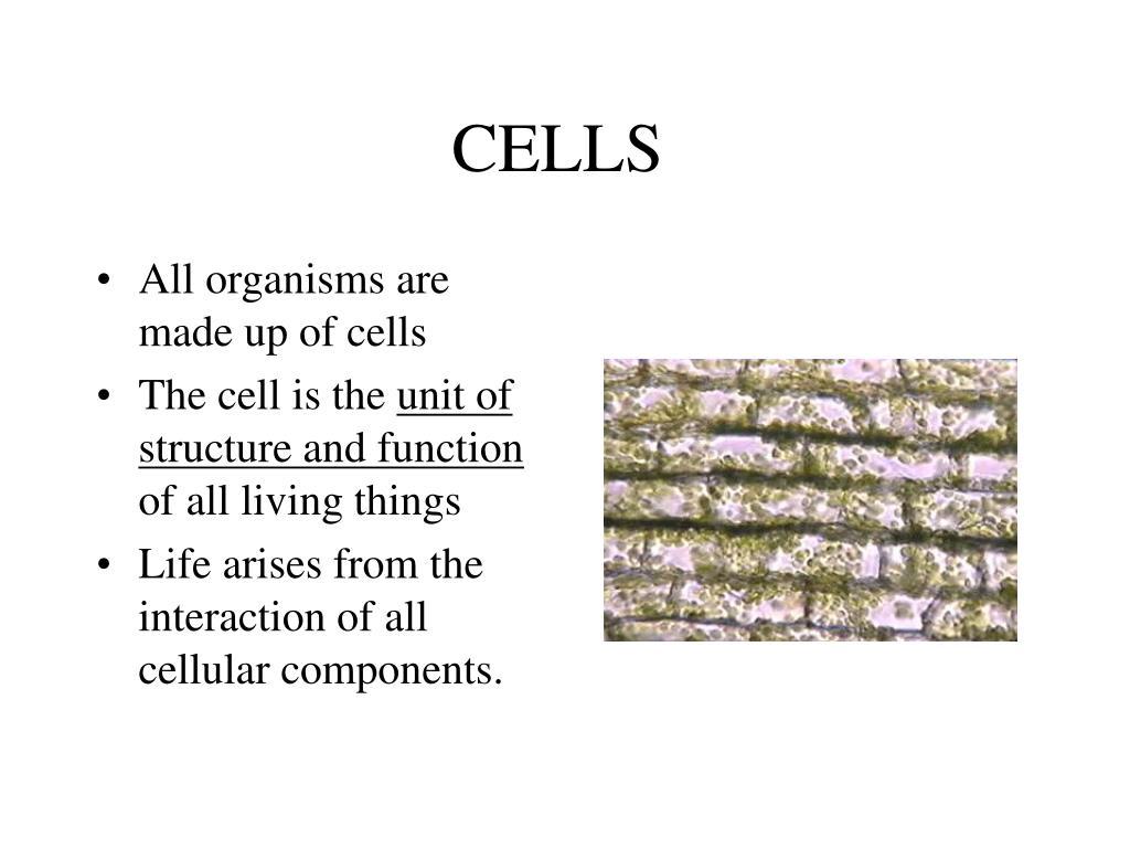 cells l.