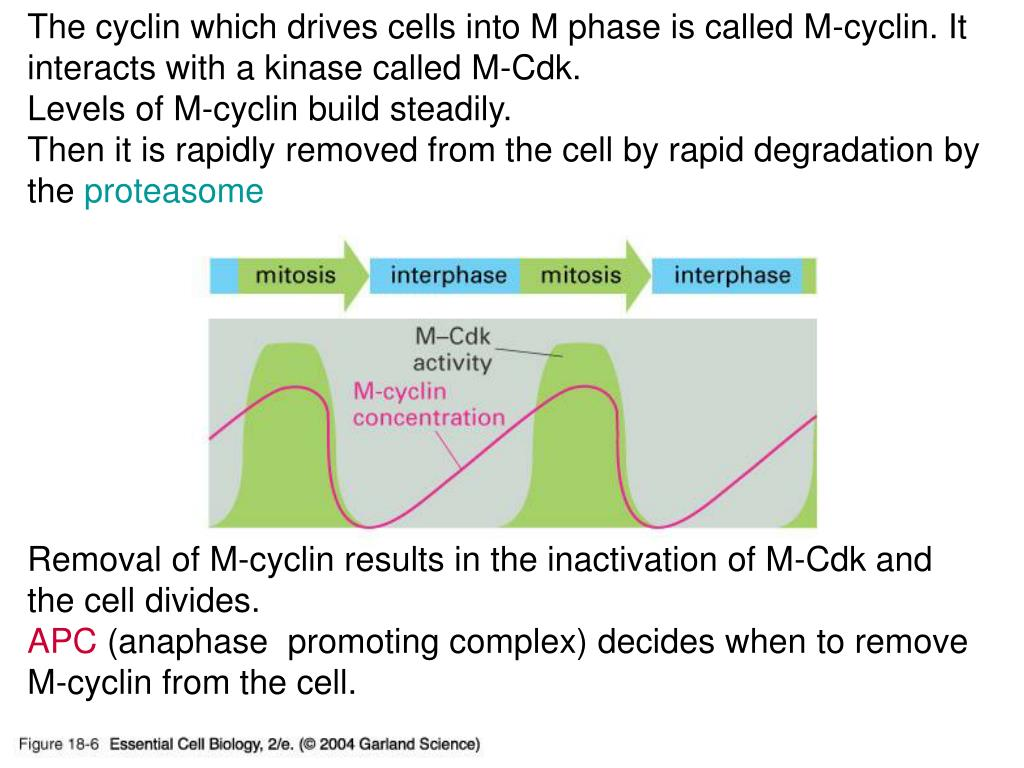 The cyclin which drives cells into M phase is called M-cyclin. It interacts with a kinase called M-Cdk.