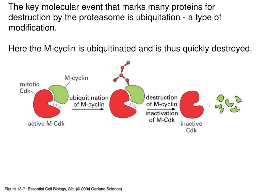The key molecular event that marks many proteins for destruction by the proteasome is ubiquitation - a type of modification.