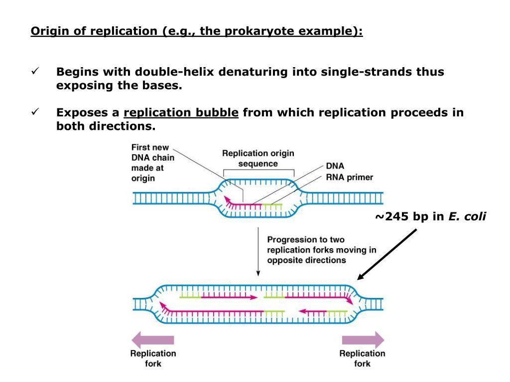 Origin of replication (e.g., the prokaryote example):