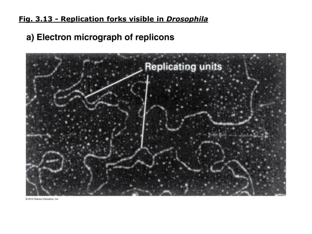 Fig. 3.13 - Replication forks visible in