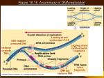 figure 16 16 a summary of dna replication21