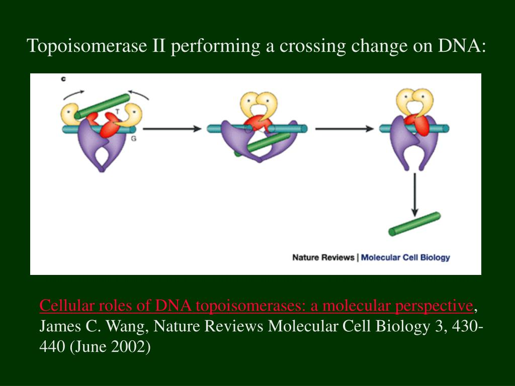 Topoisomerase II performing a crossing change on DNA: