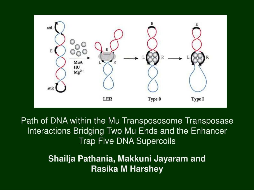 Path of DNA within the Mu Transpososome Transposase Interactions Bridging Two Mu Ends and the Enhancer Trap Five DNA Supercoils