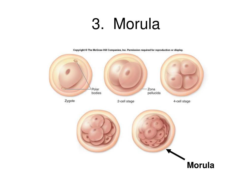 3.  Morula