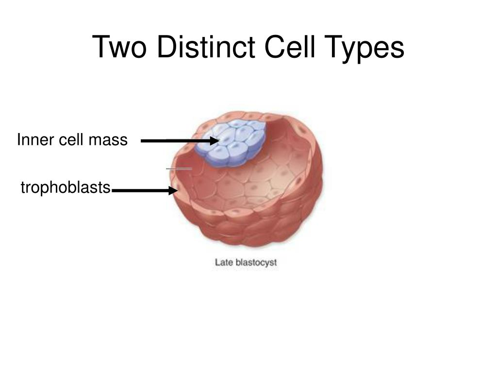 Two Distinct Cell Types