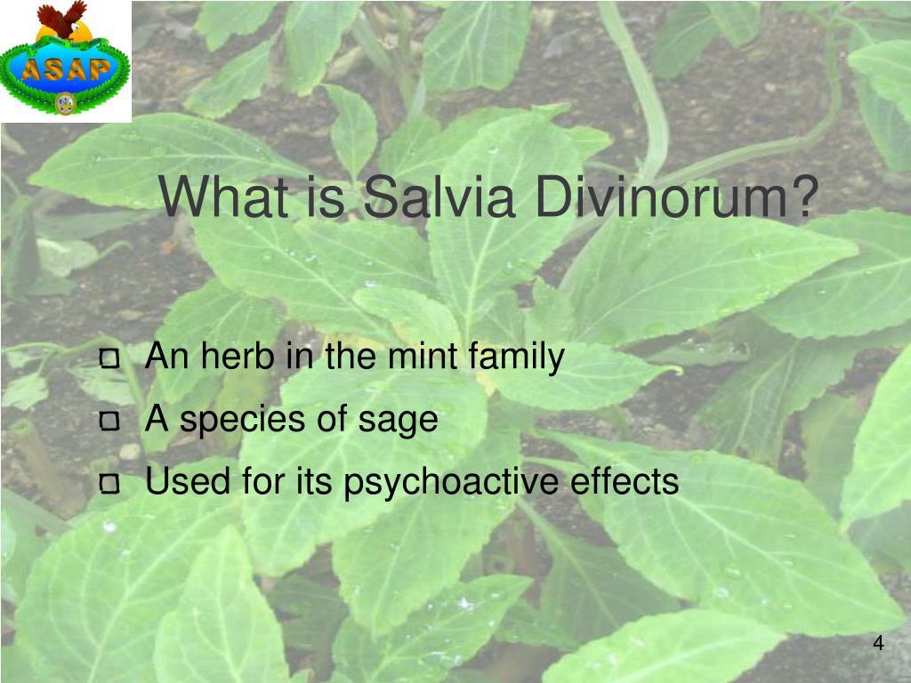 What is Salvia Divinorum?