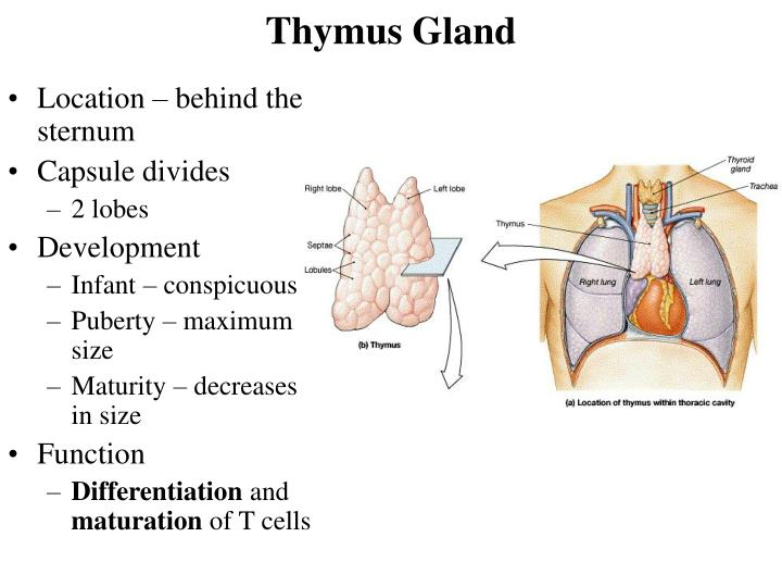 Ppt Lymphatic System Powerpoint Presentation Id300898