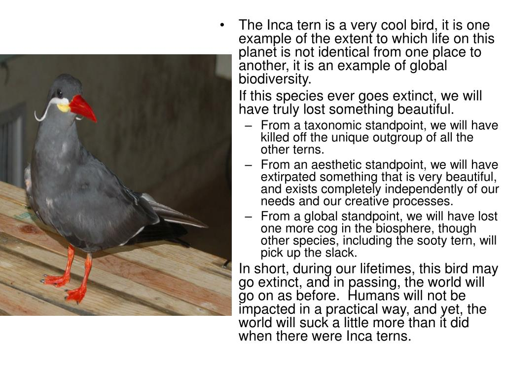 The Inca tern is a very cool bird, it is one example of the extent to which life on this planet is not identical from one place to another, it is an example of global biodiversity.