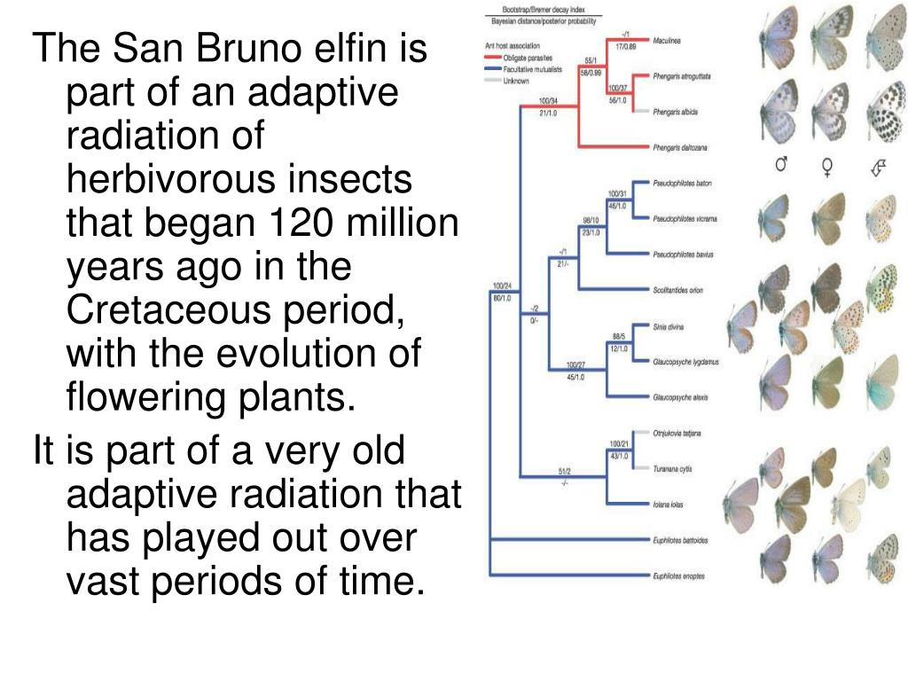 The San Bruno elfin is part of an adaptive radiation of herbivorous insects that began 120 million years ago in the Cretaceous period, with the evolution of flowering plants.