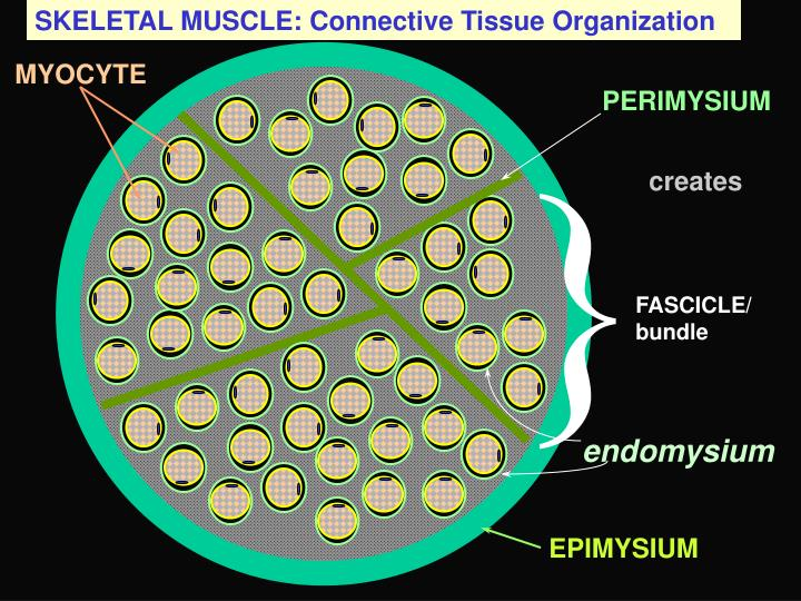 SKELETAL MUSCLE: Connective Tissue Organization