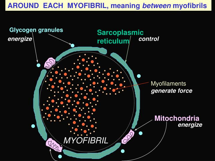 AROUND  EACH  MYOFIBRIL, meaning