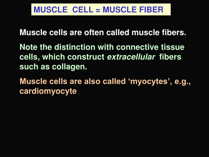 MUSCLE  CELL = MUSCLE FIBER