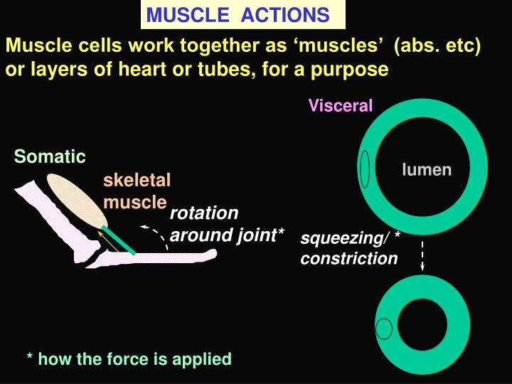 MUSCLE  ACTIONS