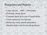 peregrines and prairies