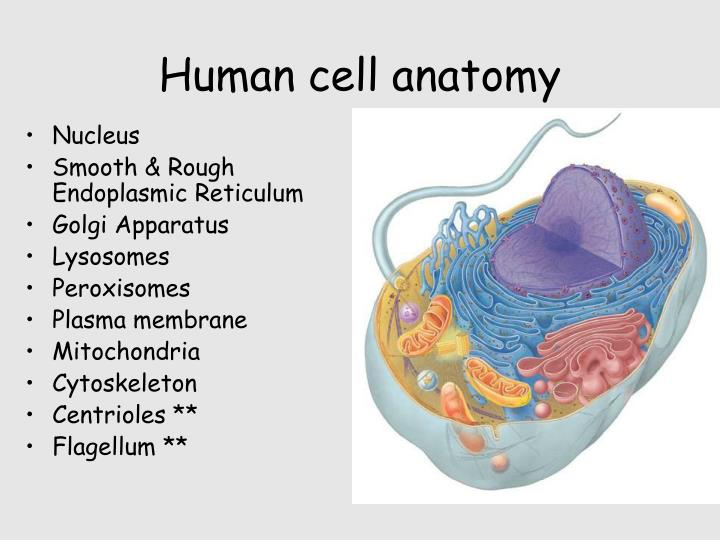 Ppt Cells Powerpoint Presentation Id302083