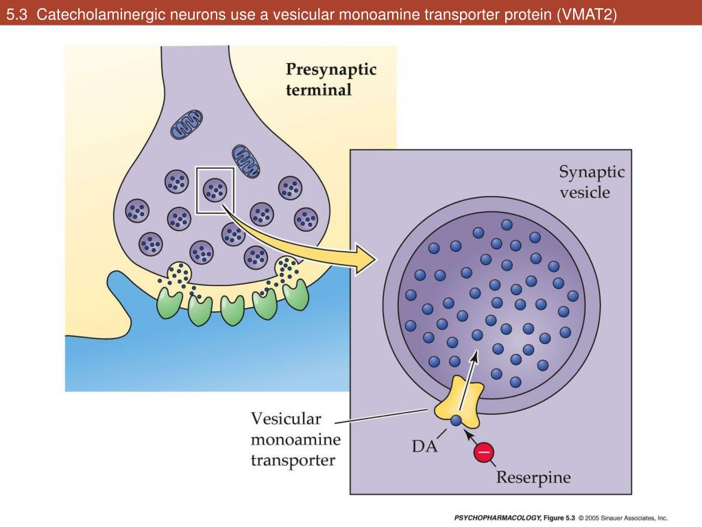 5.3  Catecholaminergic neurons use a vesicular monoamine transporter protein (VMAT2)