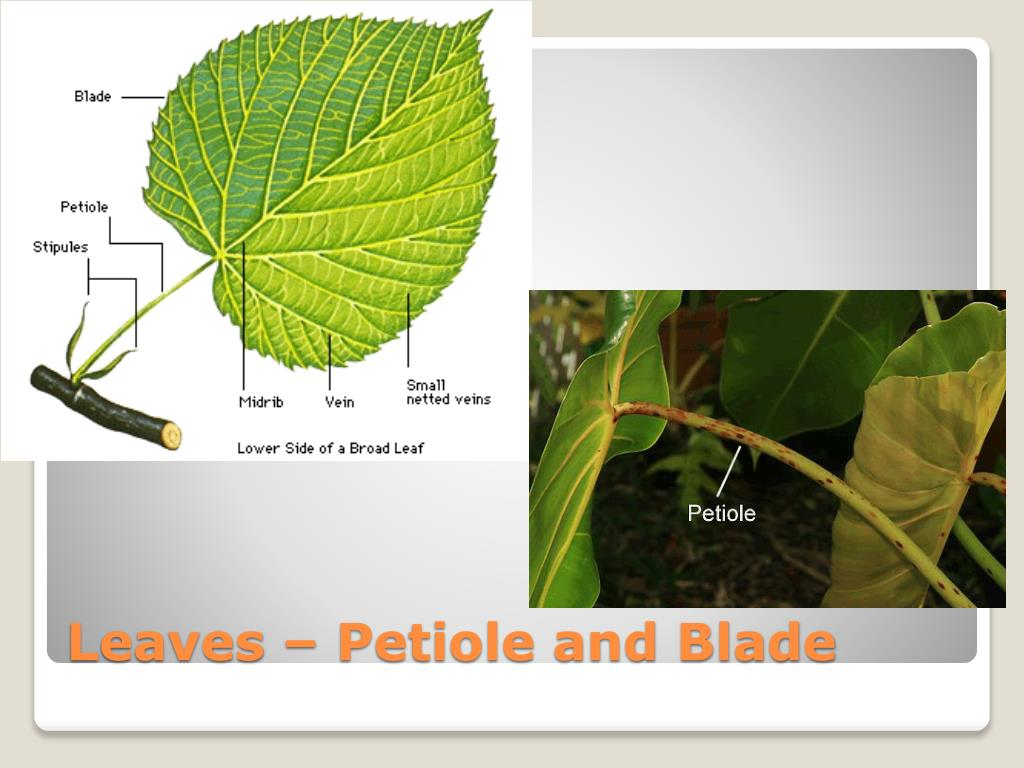Leaves – Petiole and Blade