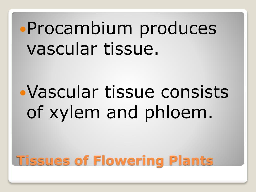 Procambium produces vascular tissue.