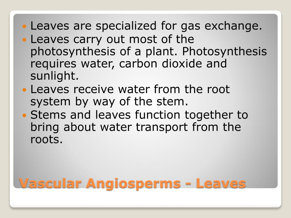 Leaves are specialized for gas exchange.