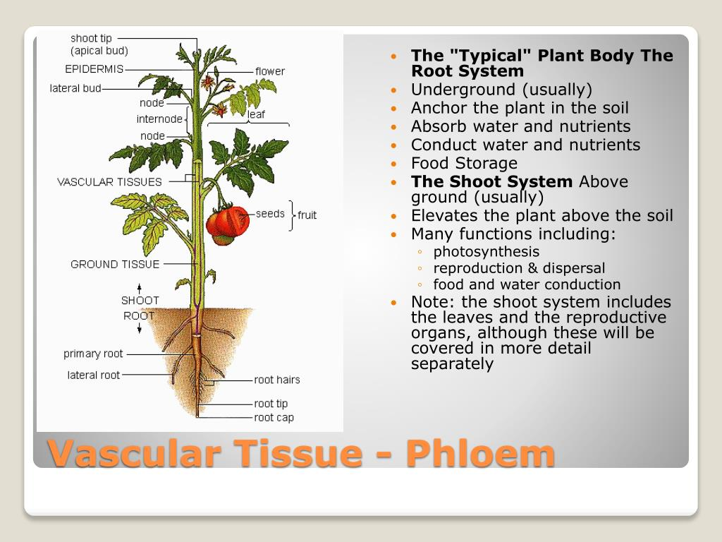 """The """"Typical"""" Plant Body"""