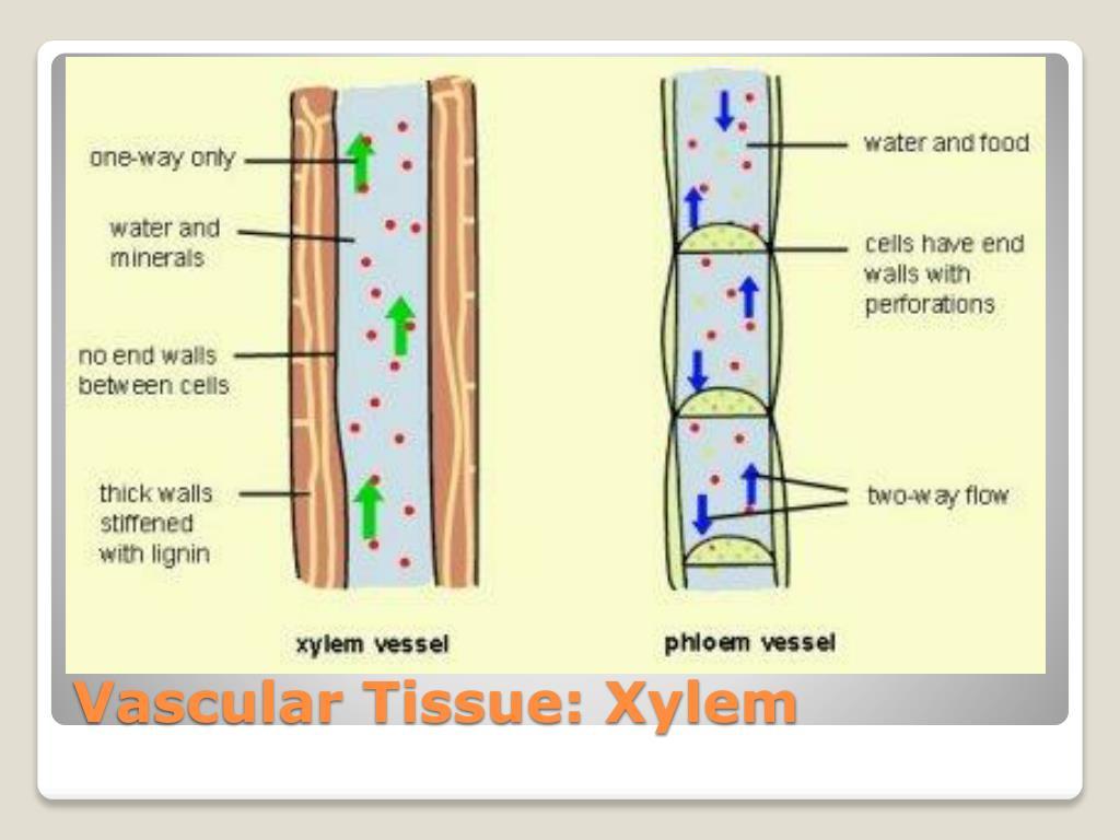 Vascular Tissue: Xylem
