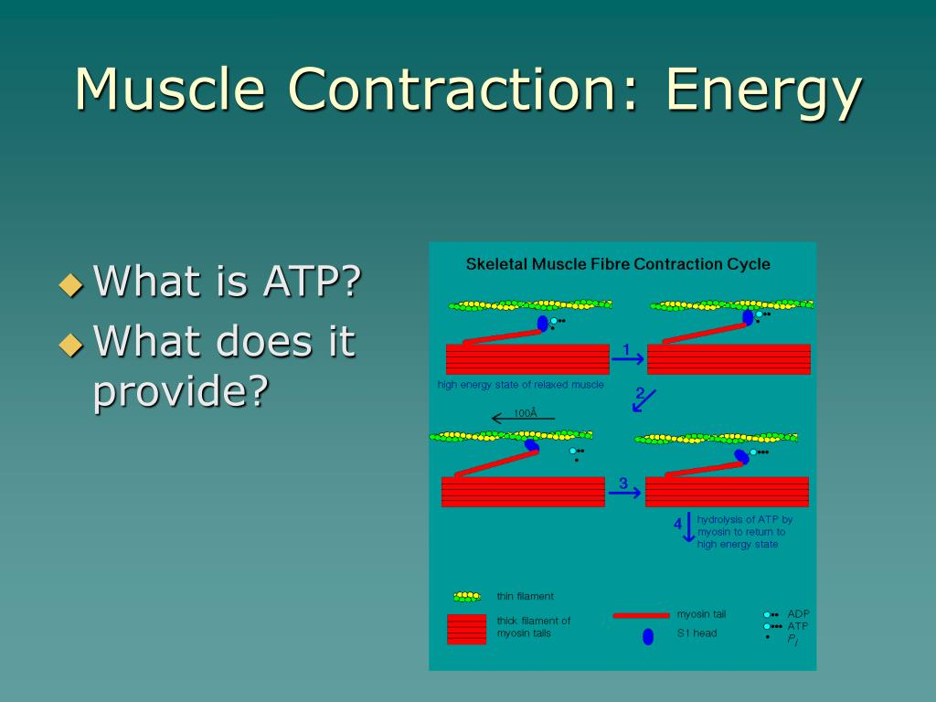Muscle Contraction: Energy